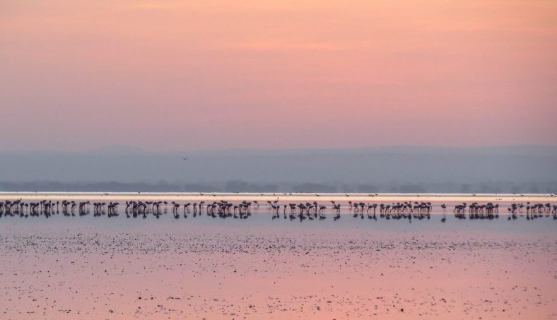 The pink flamingos against a backdrop of a pink sky and its reflection, are a sight to watch