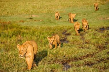 A lioness leads the way as her litter of cubs follows