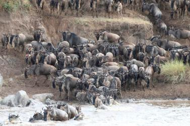 Wildebeest migration - one of the most sought after spectacles in Africa