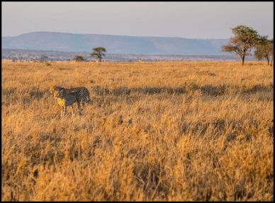 The Serengeti grass is ideal camouflage for the Cheetahs
