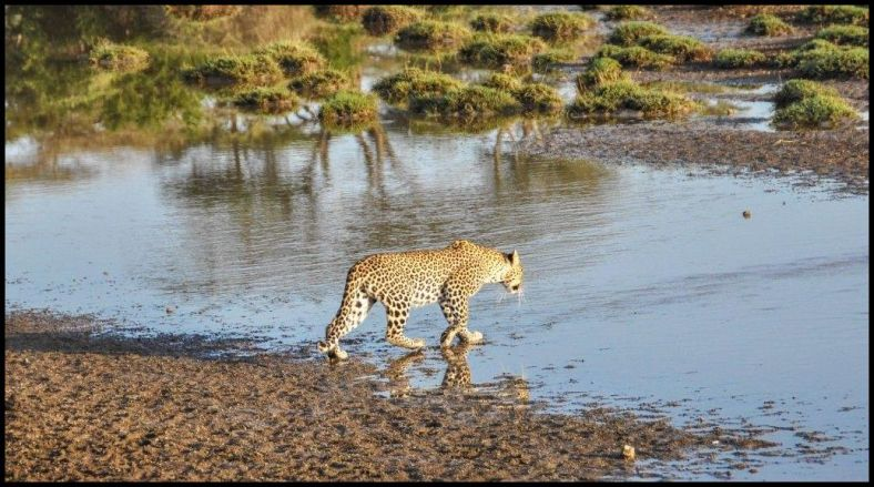 Leopards also find it easy to mingle in the African landscape