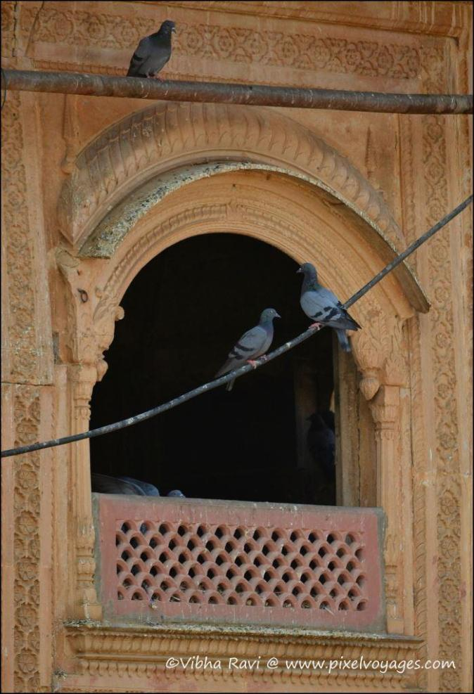 Pigeons in a lattice work window at City Palace Alwar