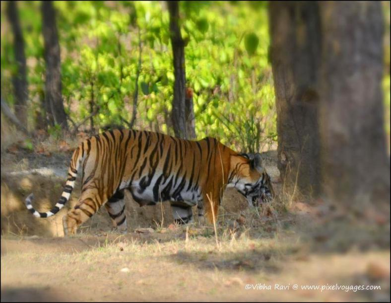Tigress Choti Maada walks past us at Kanha National Park
