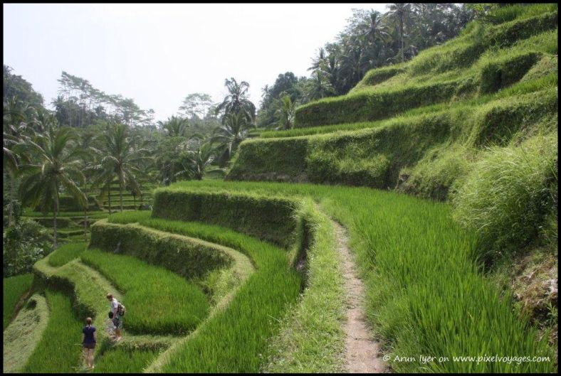 Ledges make natural paths for water to flow through Bali's rice terraces