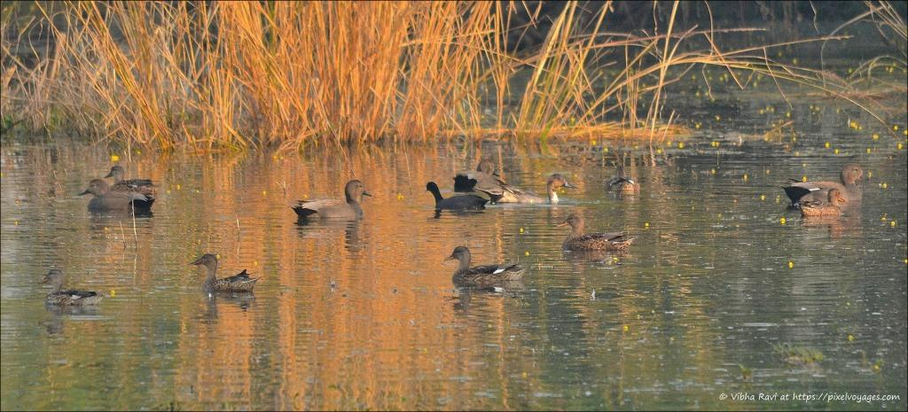 Male, female, and juvenile Gadwalls