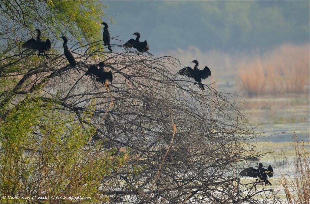 Little Cormorants at Bharatpur Bird Sanctuary