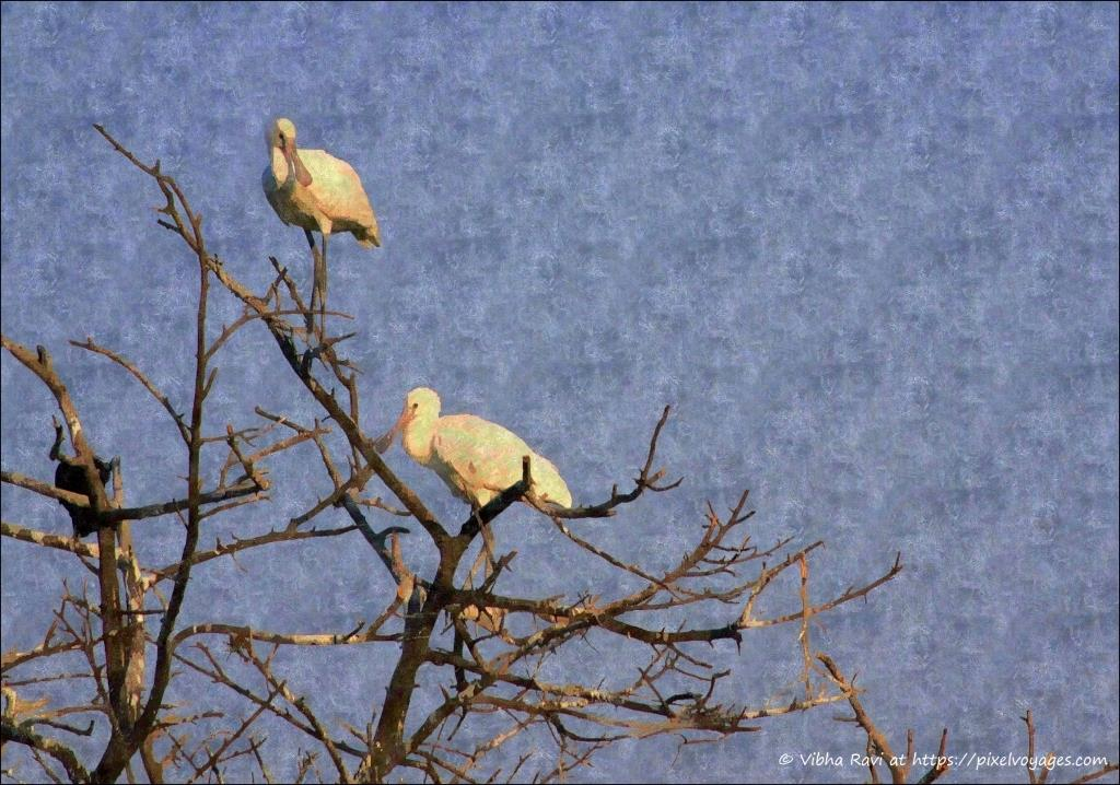 Young Spoonbills at Bharatpur Keoladeo Park heronry