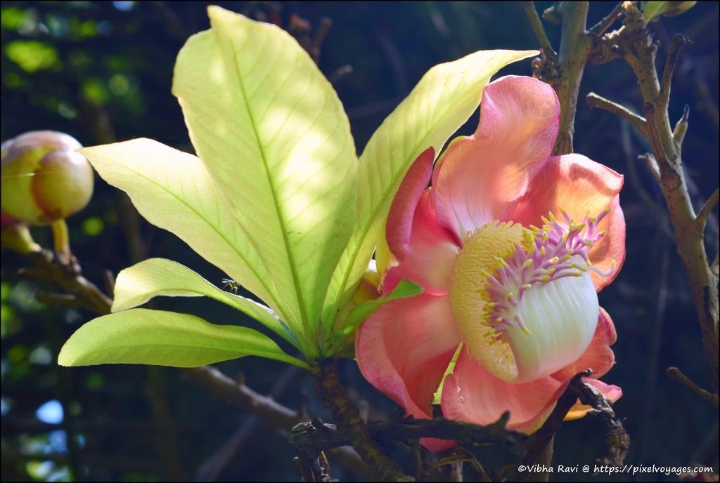 Cannonball flower at Peradeniya Garden Sri Lanka