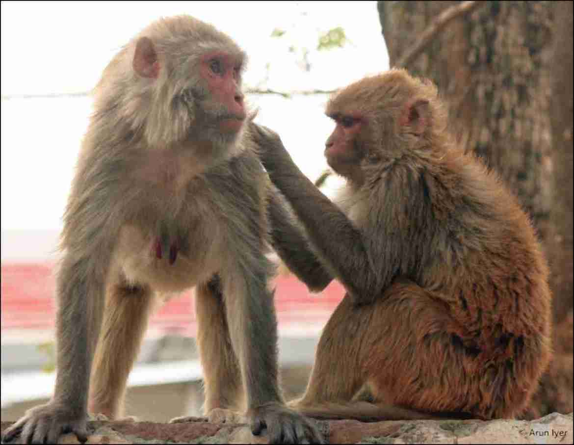 Indian monkey grooming another