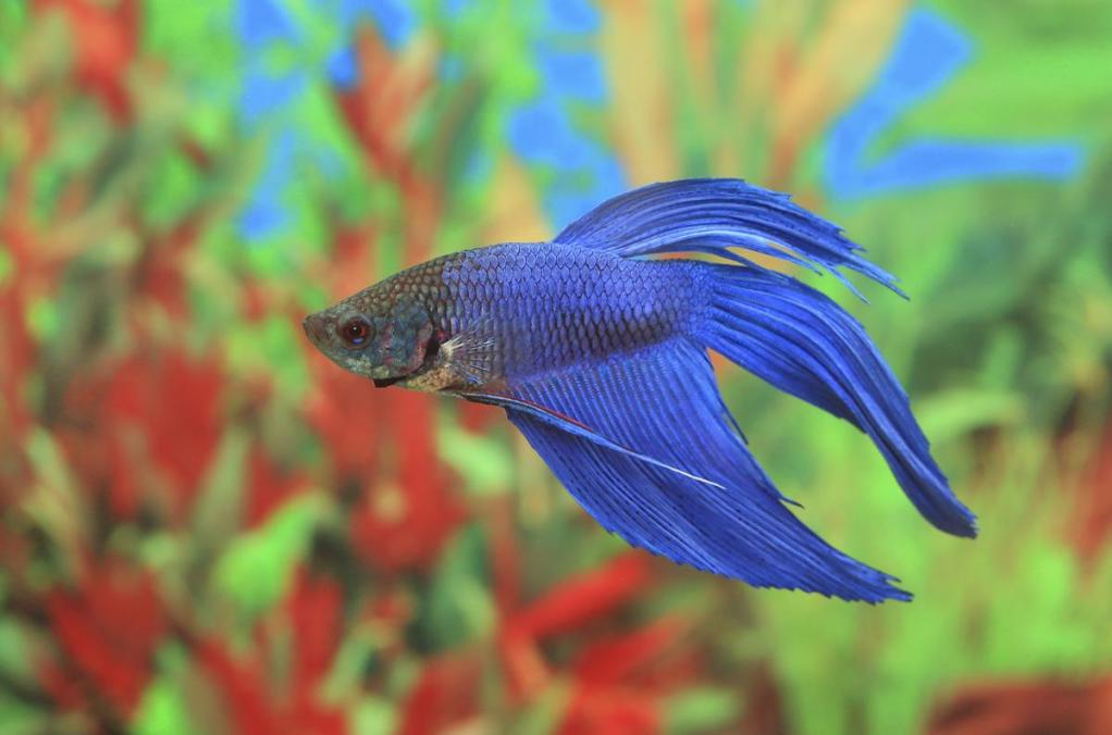 Female Betta Fish - Pet Ponder