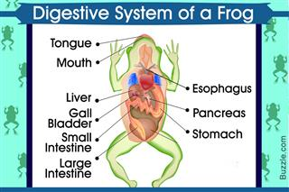 Digestive System of a Frog Aptly Explained With a Labeled ...