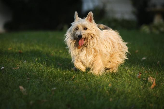 grooming a cairn terrier