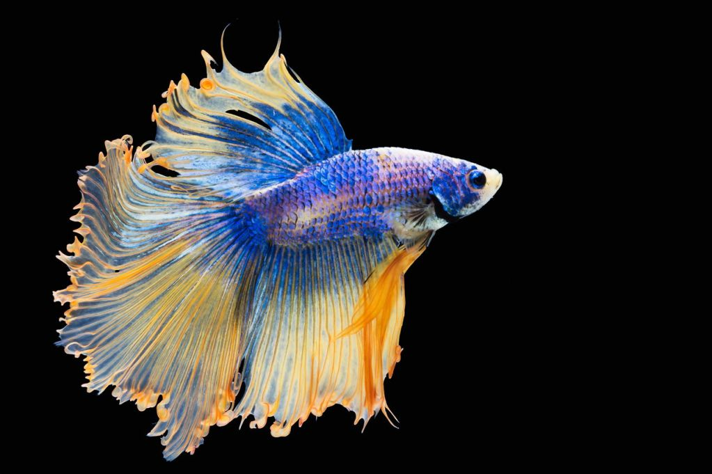 We Suggest Adorable Names for Your Delicate Darling Betta ...