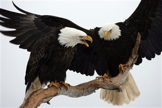Two bald eagles perched on tree branch
