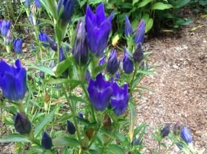 Gentiana 'True Blue' - pixie perennials@gmail.com