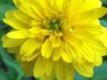 Rudbeckia laciniata 'Goldquelle' - pixieperennials@gmail.com