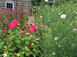 Hardy Hibiscus and Boltonia asteroides 'Pink Beauty - pixieperennials@gmail.com