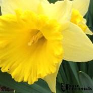 Narcissus 2014 - pixieperennials.com