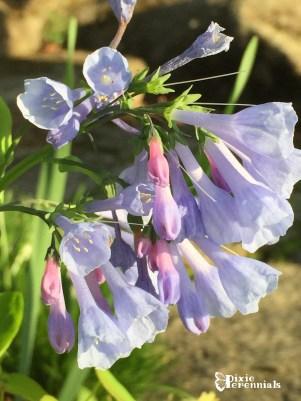 Mertensia virginica - pixieperennials.com