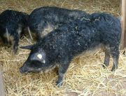 curly-hair ship mangalitsa animals