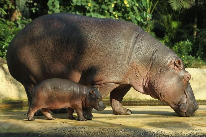 Baby Hippo and Its Mom in Berlin Zoo  Animals