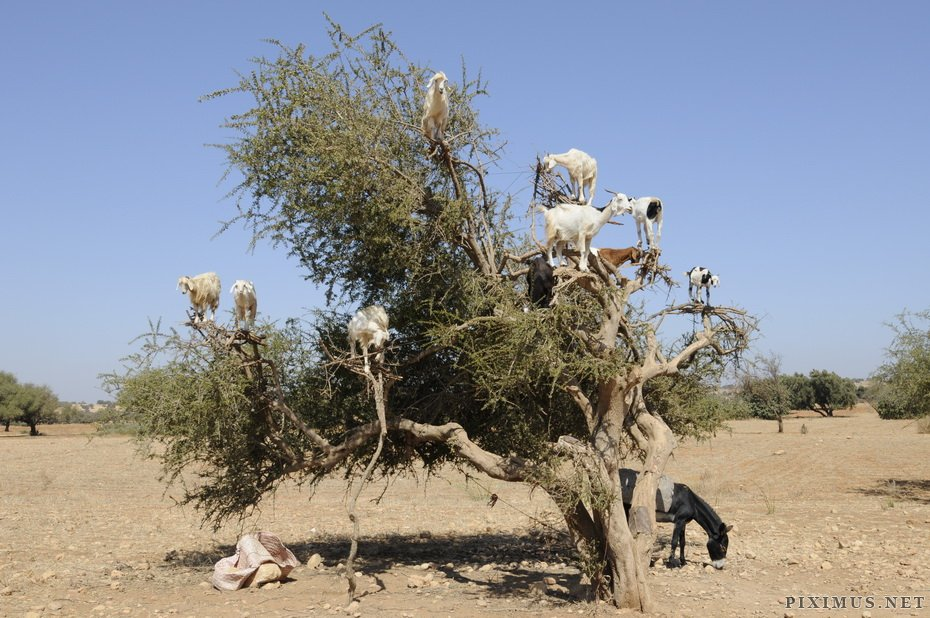 Goats on trees in Morocco  Animals