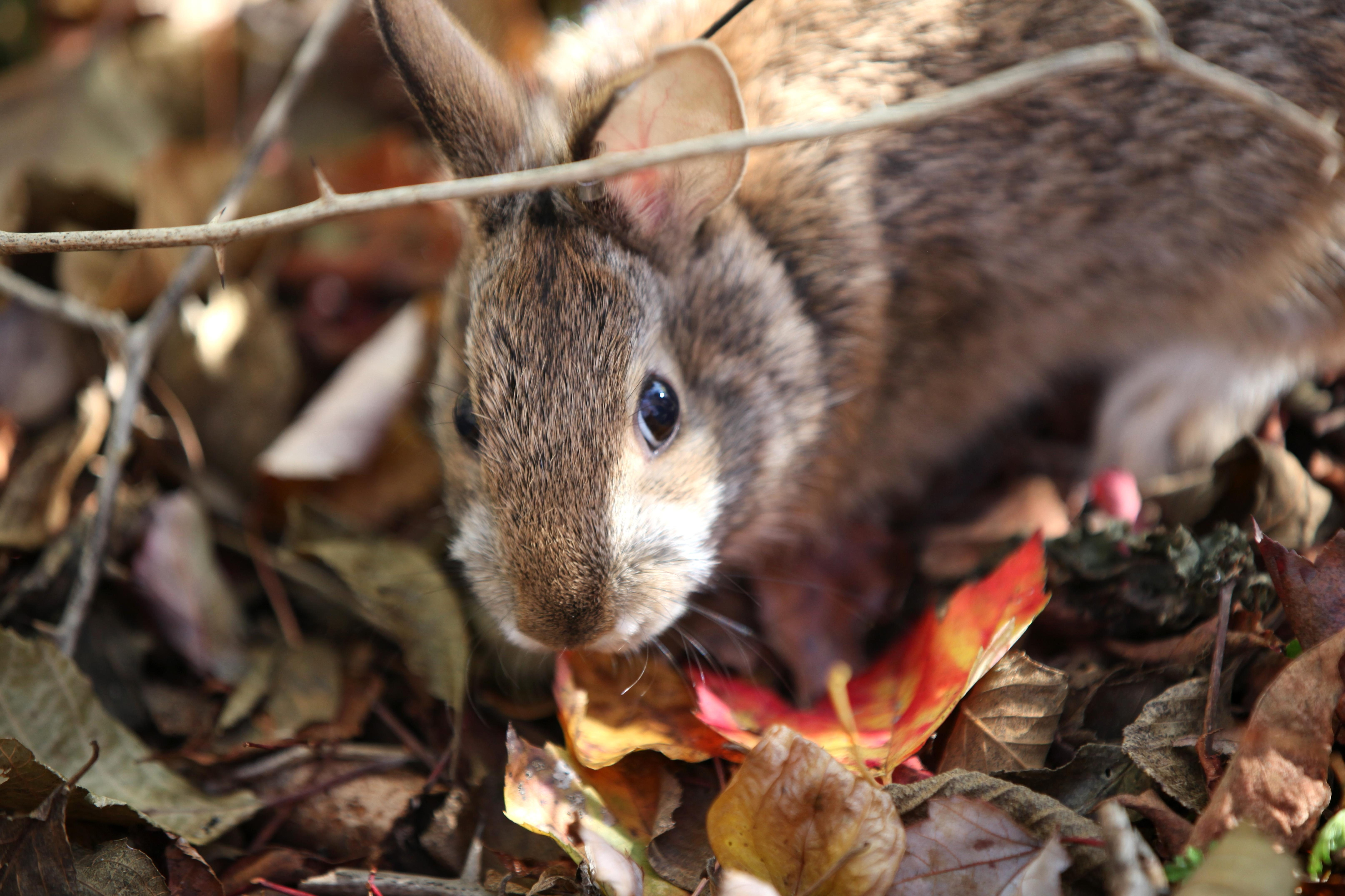Free Picture New England Cottontails Native Rabbit