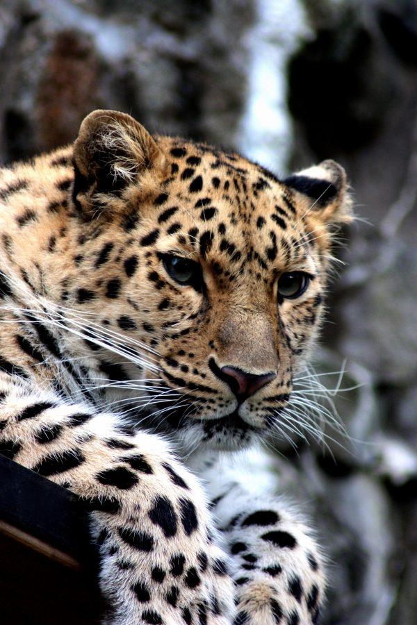 Free Leopard Wild Cat Animal