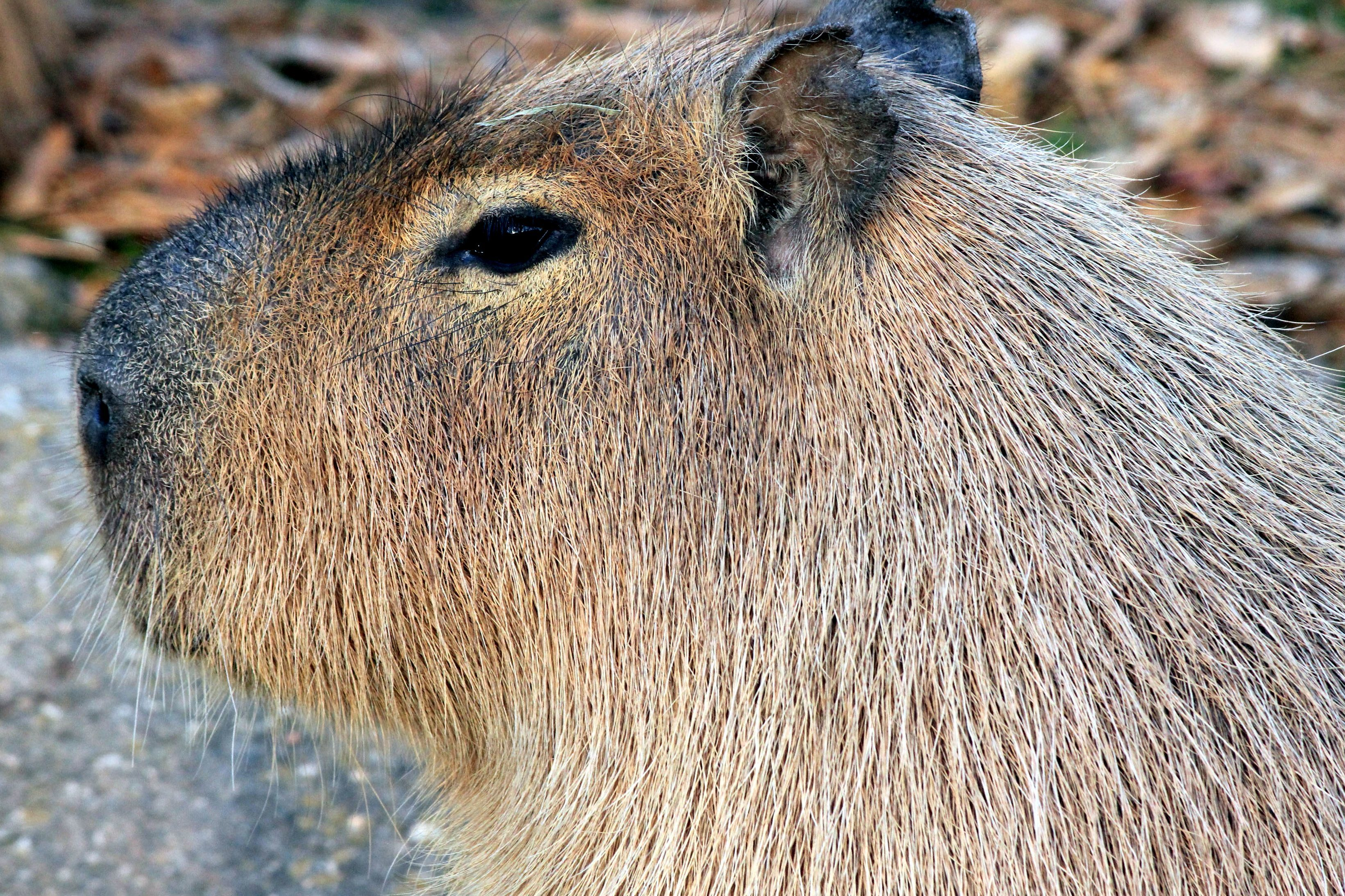 Image libre: capybara, rongeur, animal