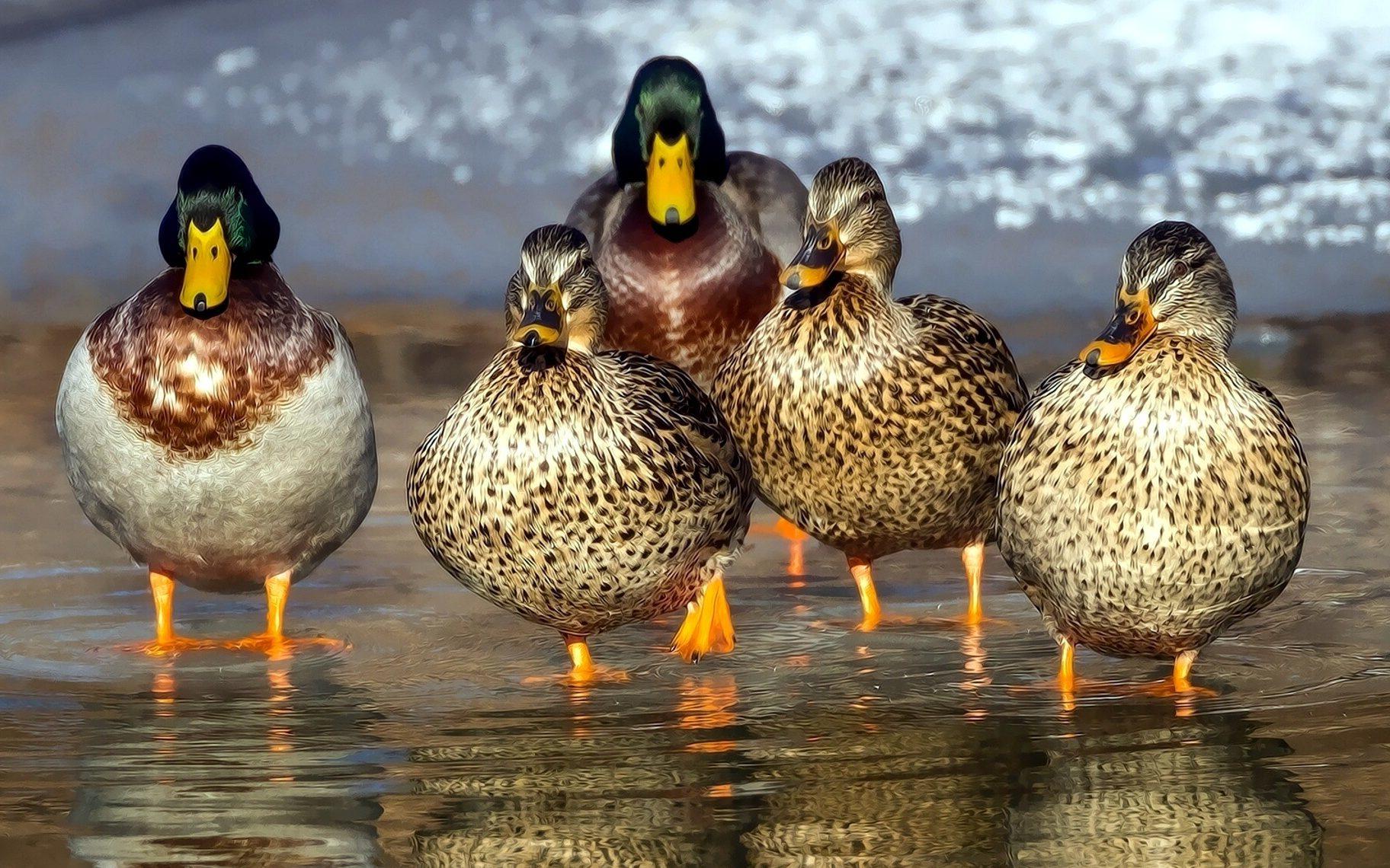 Animal Wallpaper Image Libre La Famille Des Oiseaux Des Canards Sauvages
