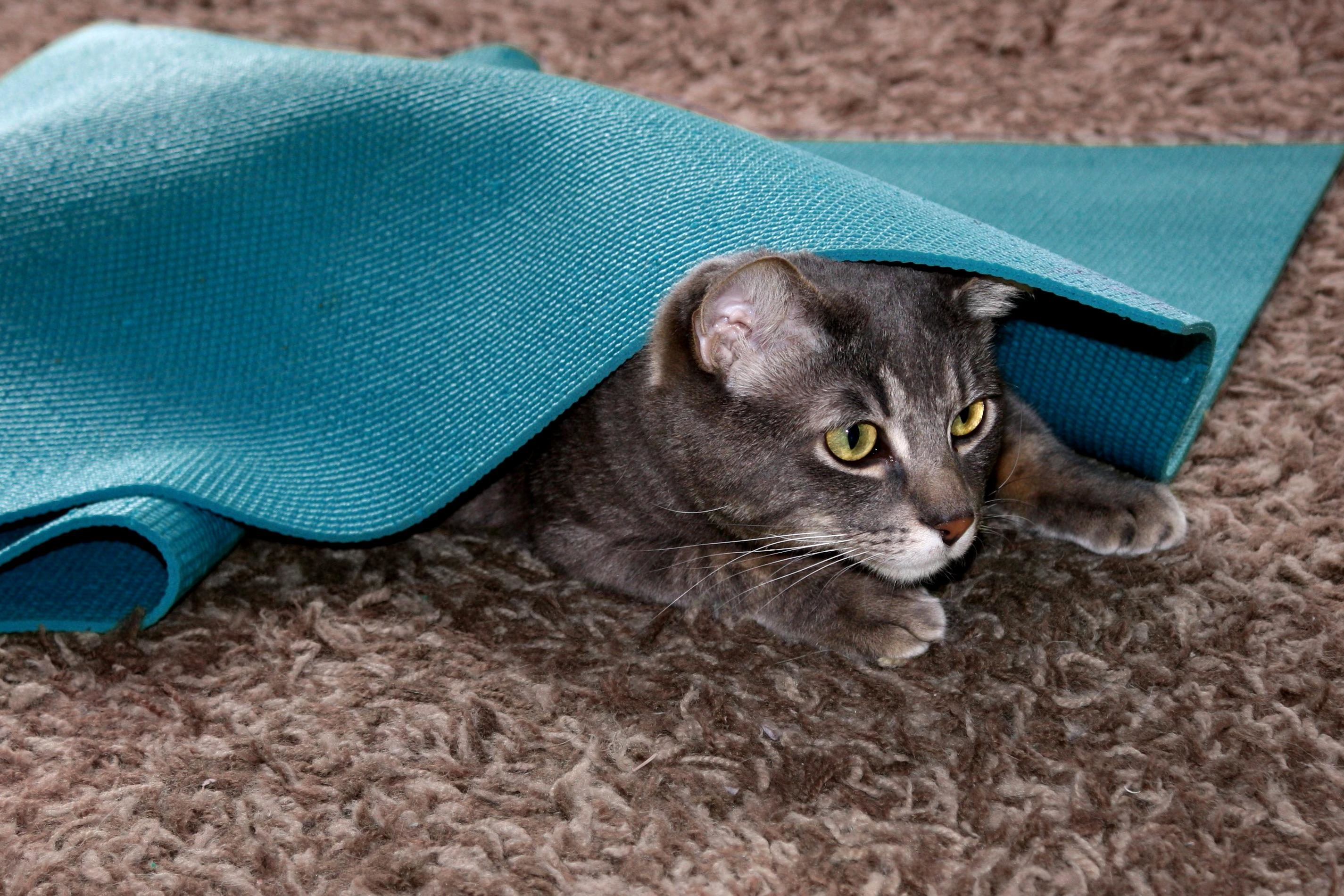Free picture domestic cat playing mat kitten pet
