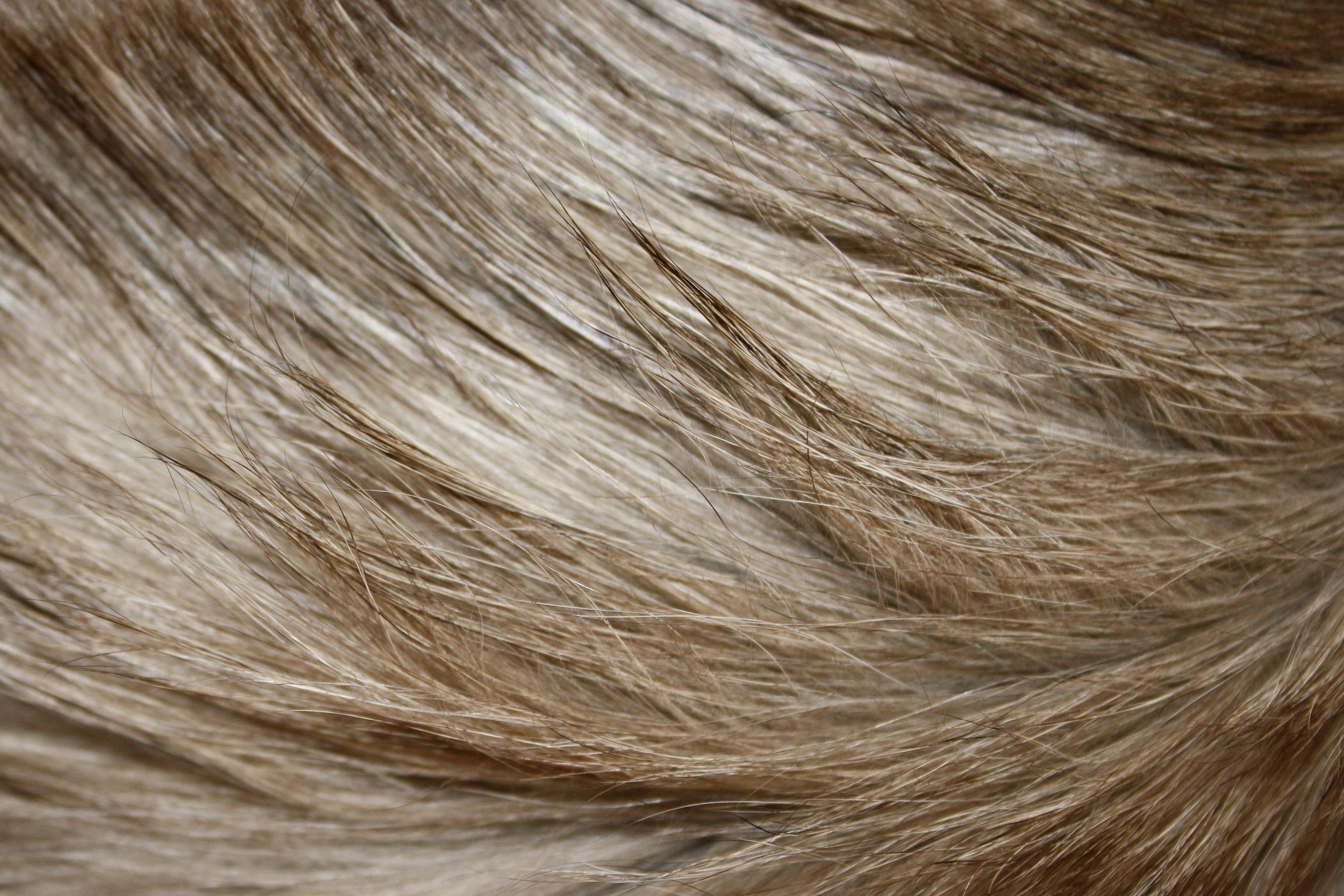 Free picture long hair blonde hair fur texture