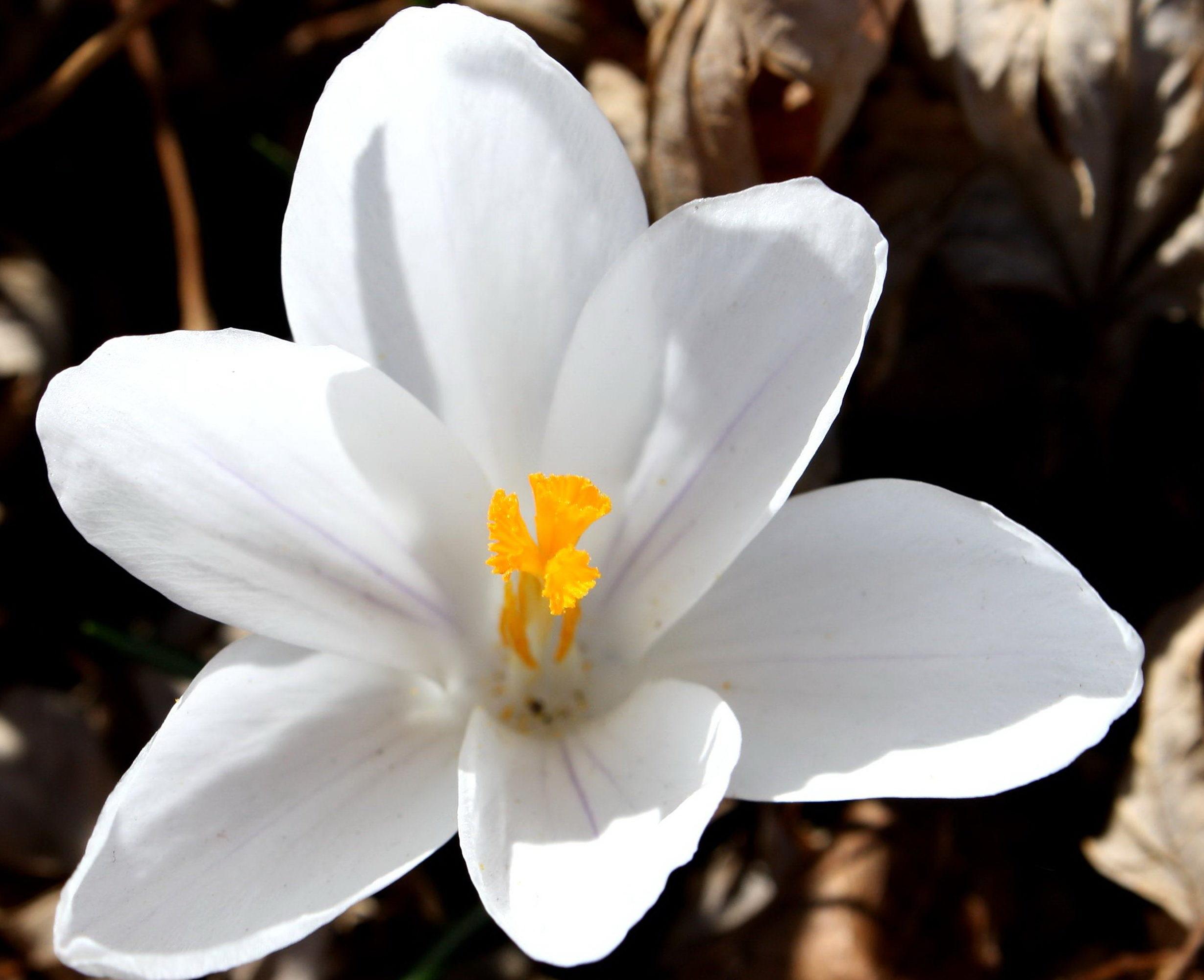 Imagen gratis ptalos de color blanco estambre polen