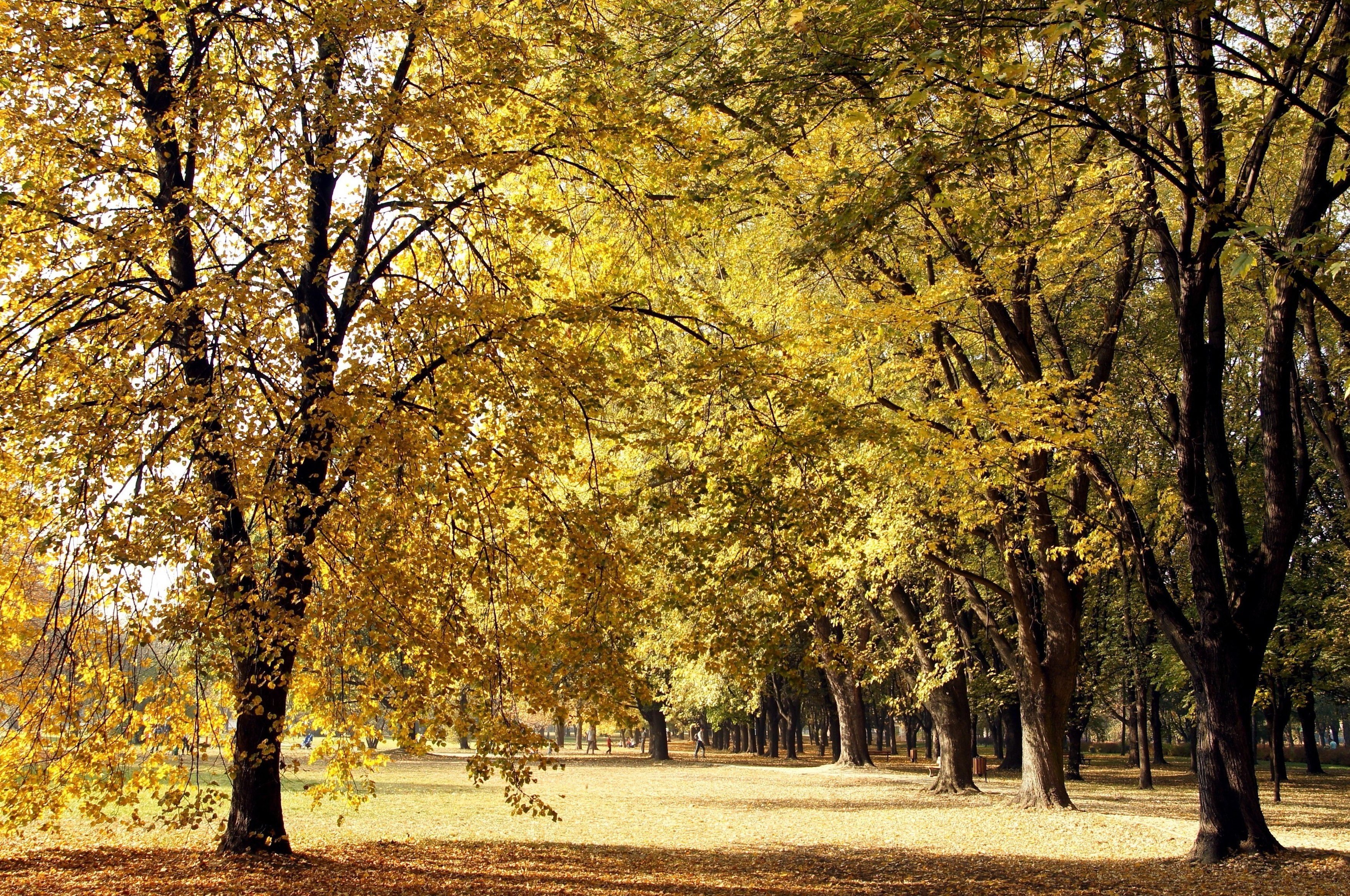 Free Picture Forest Trees Yellow Leaves Autumn