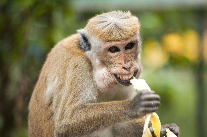Image Libre Singe Banane Mignon Manger Animal Exotique
