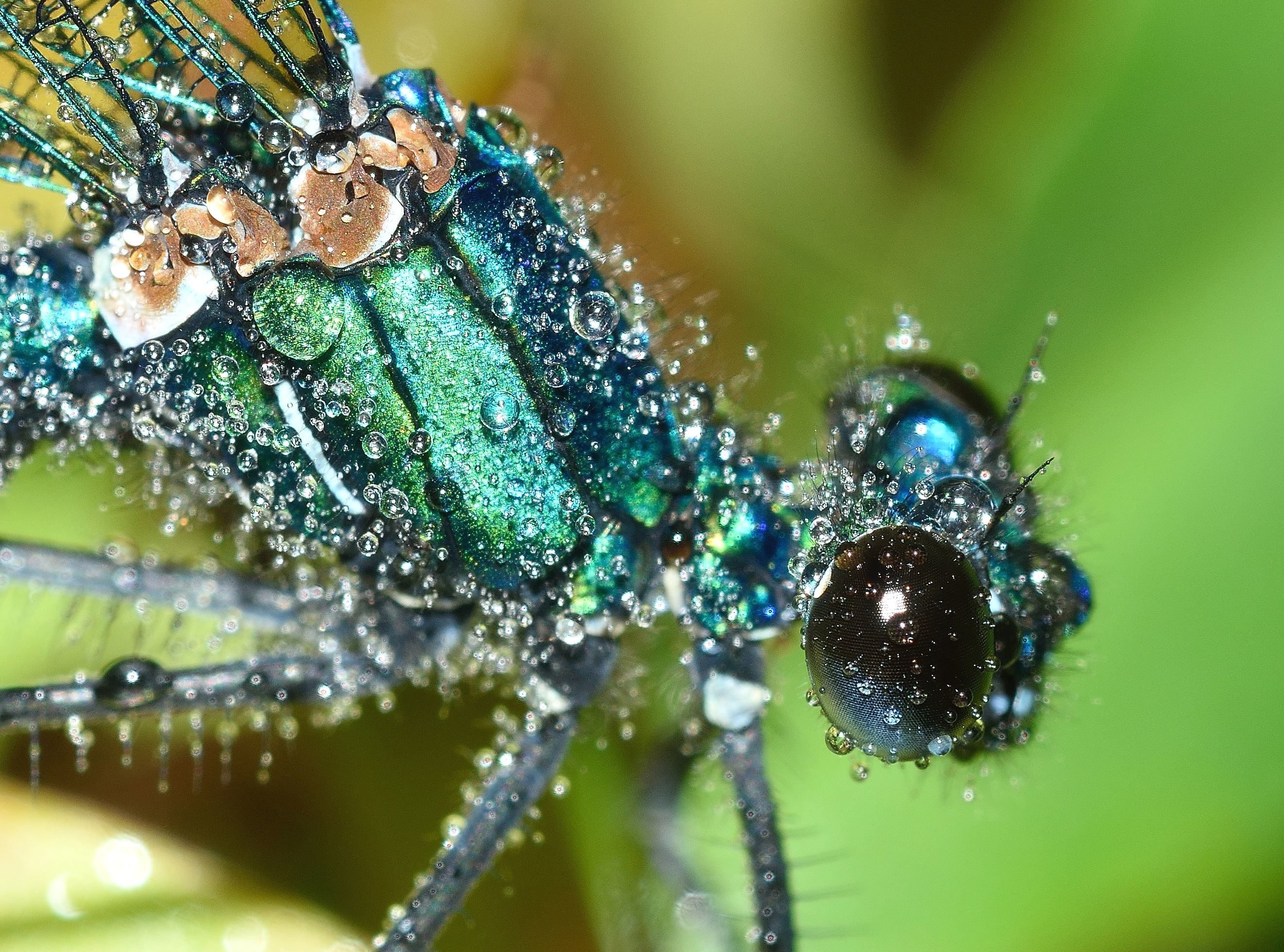 Super Hd Wallpapers Free Picture Insect Bugs Invertebrate Macro Dew