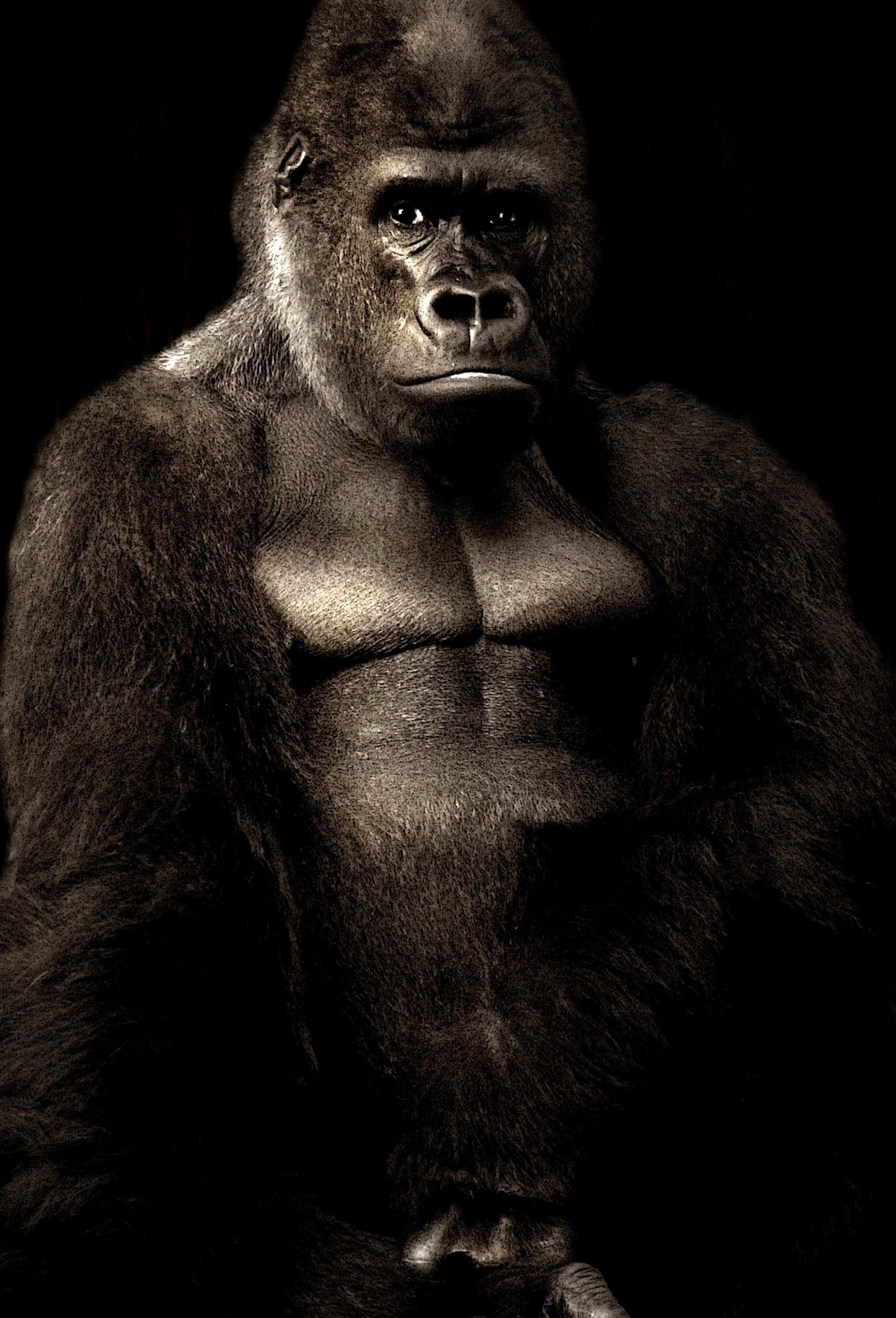 Wallpaper Hd Portrait Orientation Image Libre Singe Gorille Noir
