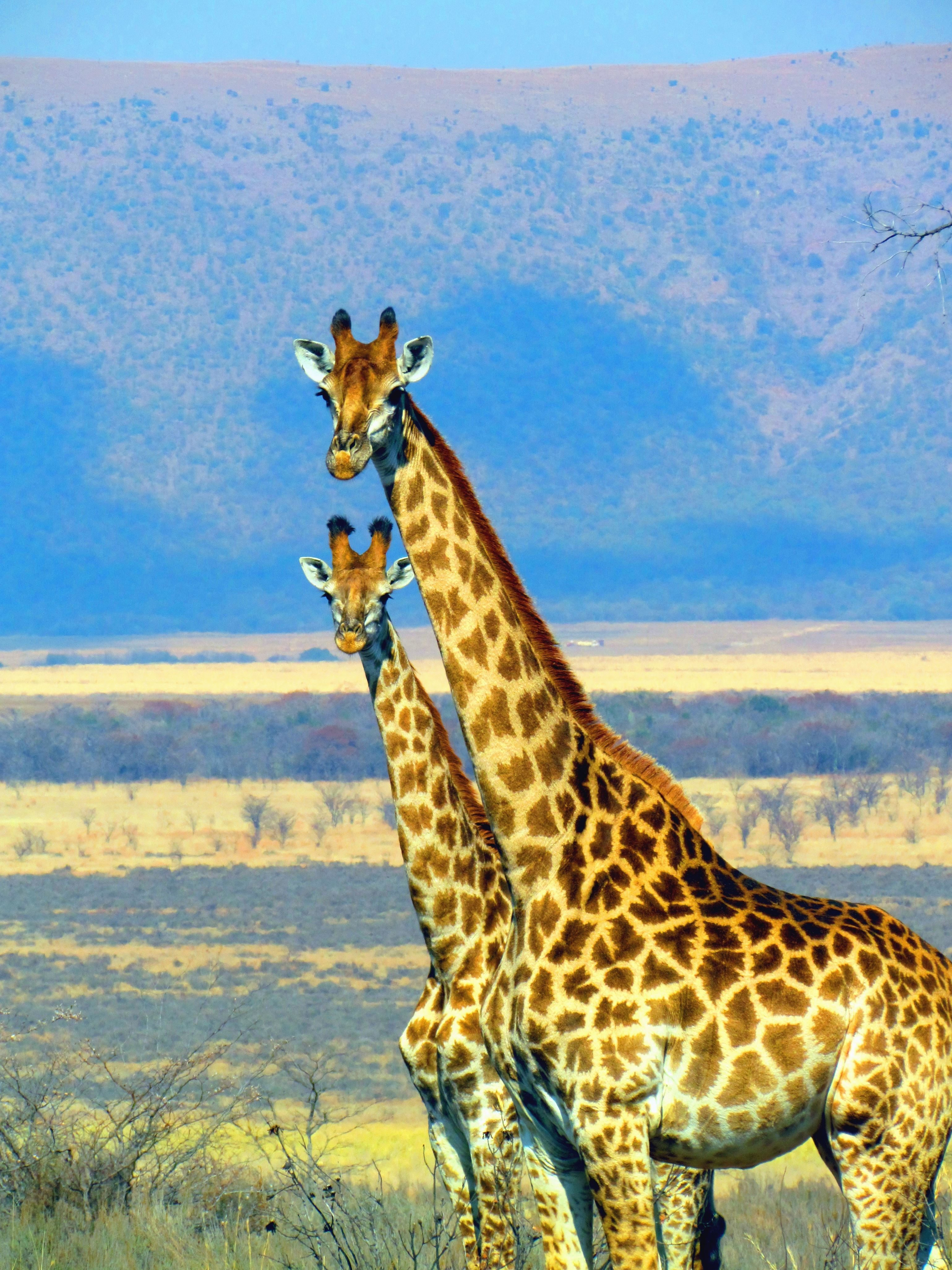 Image libre Girafe animal Afrique montagne nature herbe