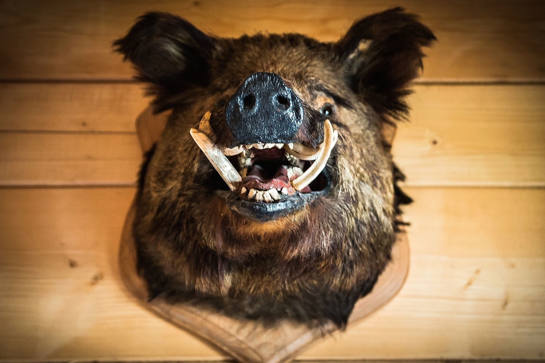 Image libre Sanglier dfense fourrure trophe chasse animal sauvage animal