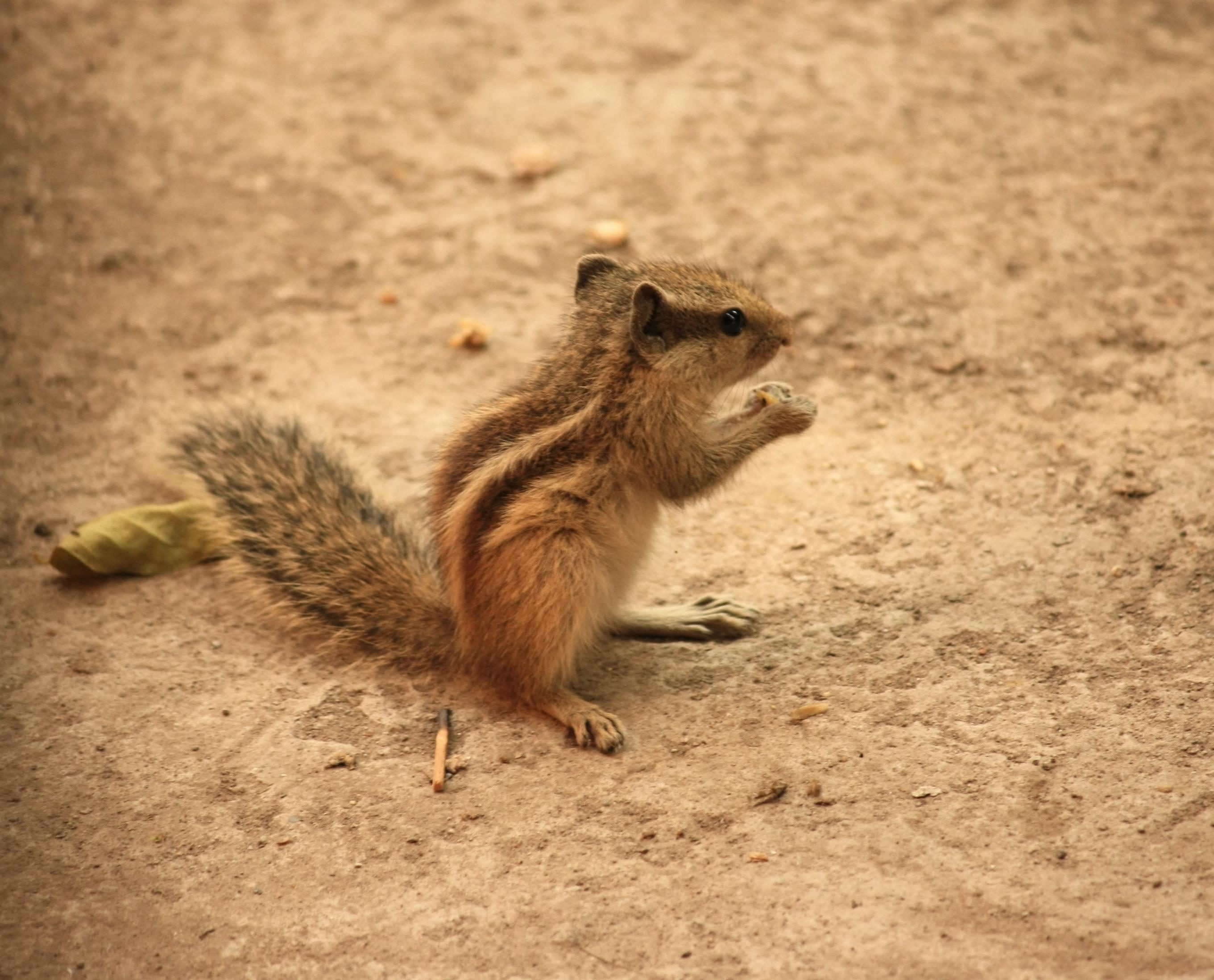 Free picture: squirrel, ground, animal, rodent