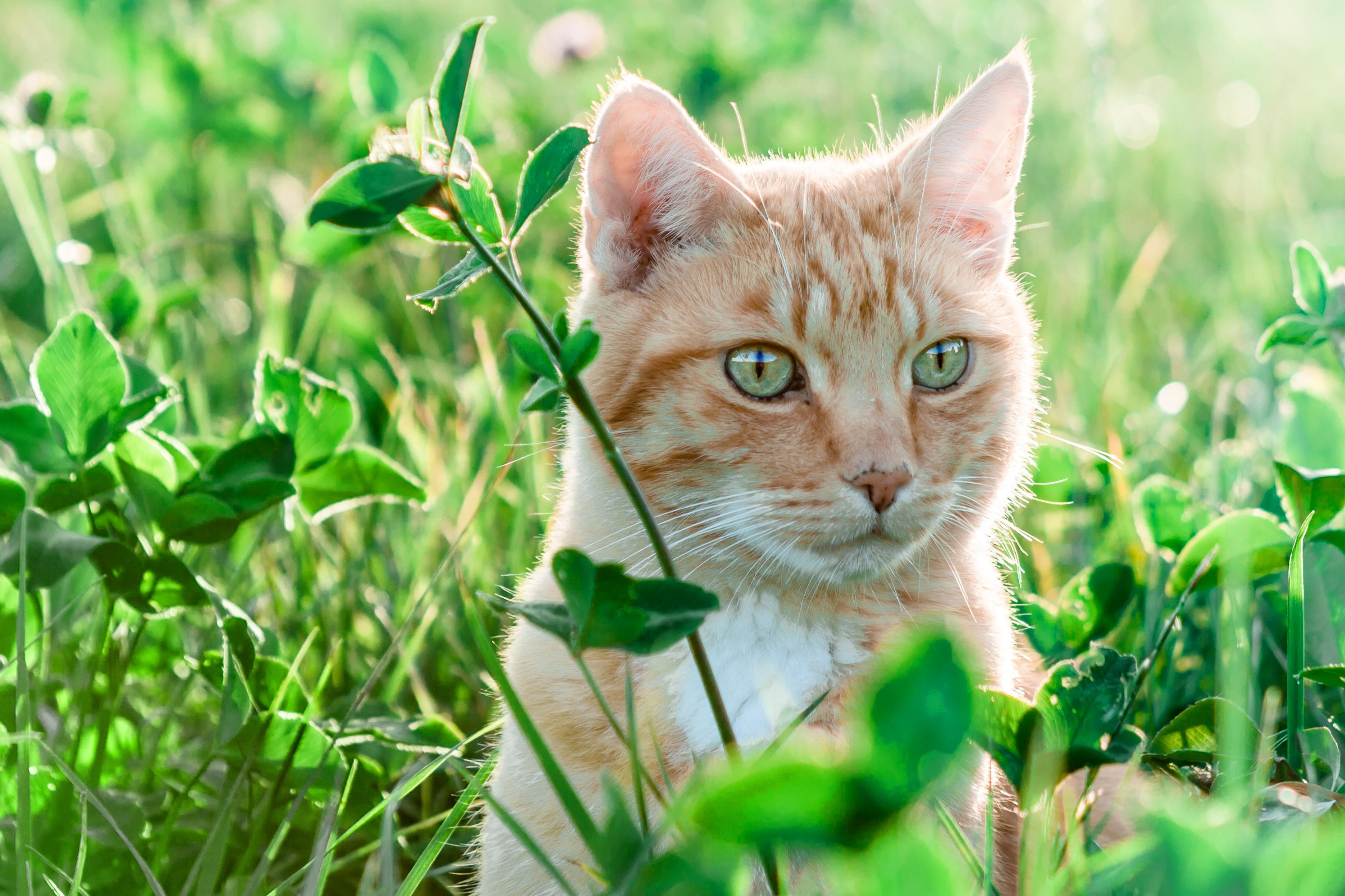 Free picture nature green grass yellow cat landscape