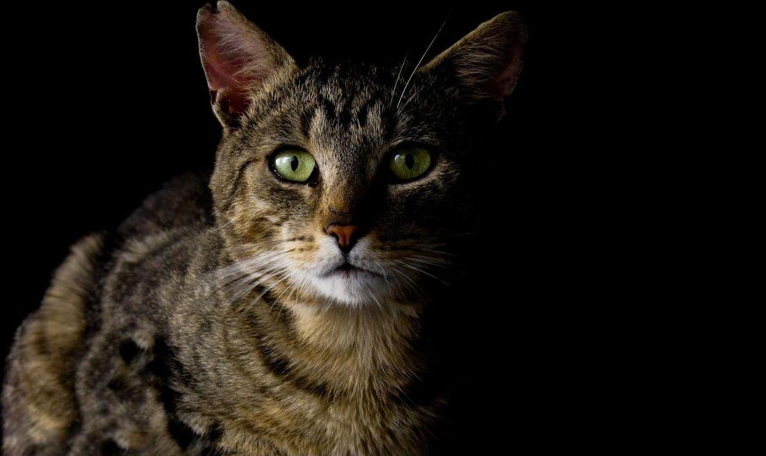 Free picture gray cat dark shadow head cat eye