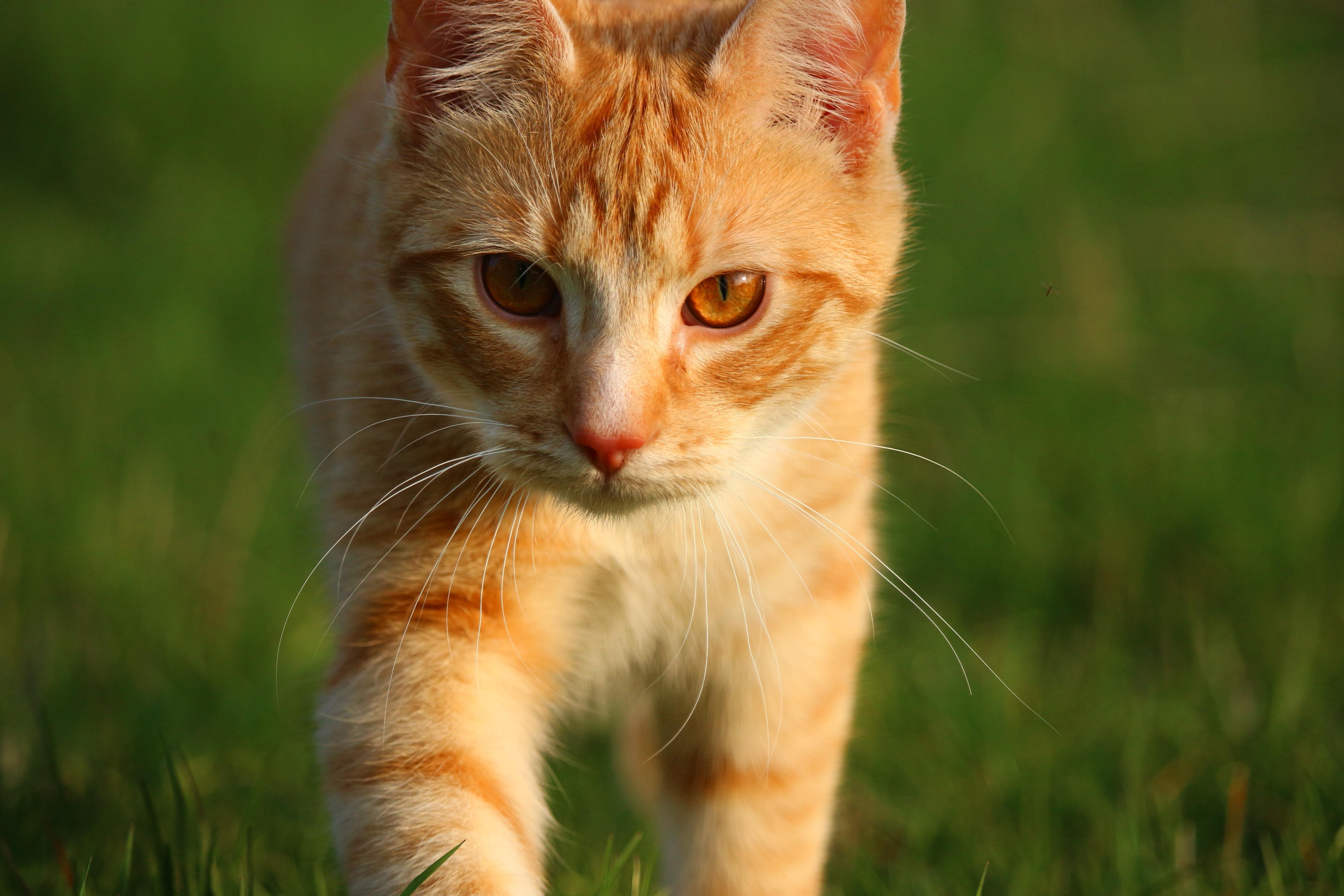 Image libre herbe chat mignon jaune animal fourrure