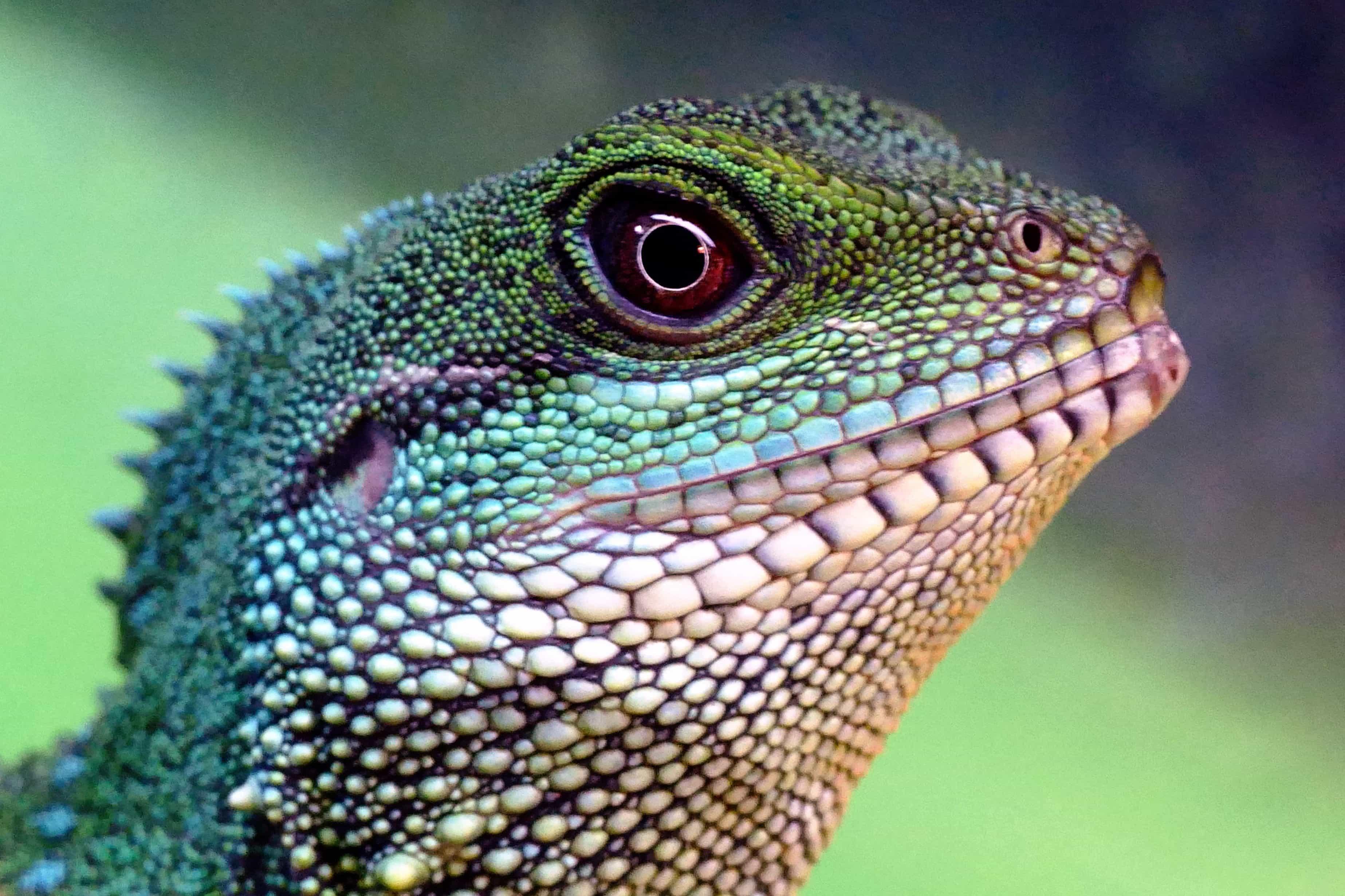 Dragon Wallpaper Hd Free Picture Lizard Reptile Wildlife Nature
