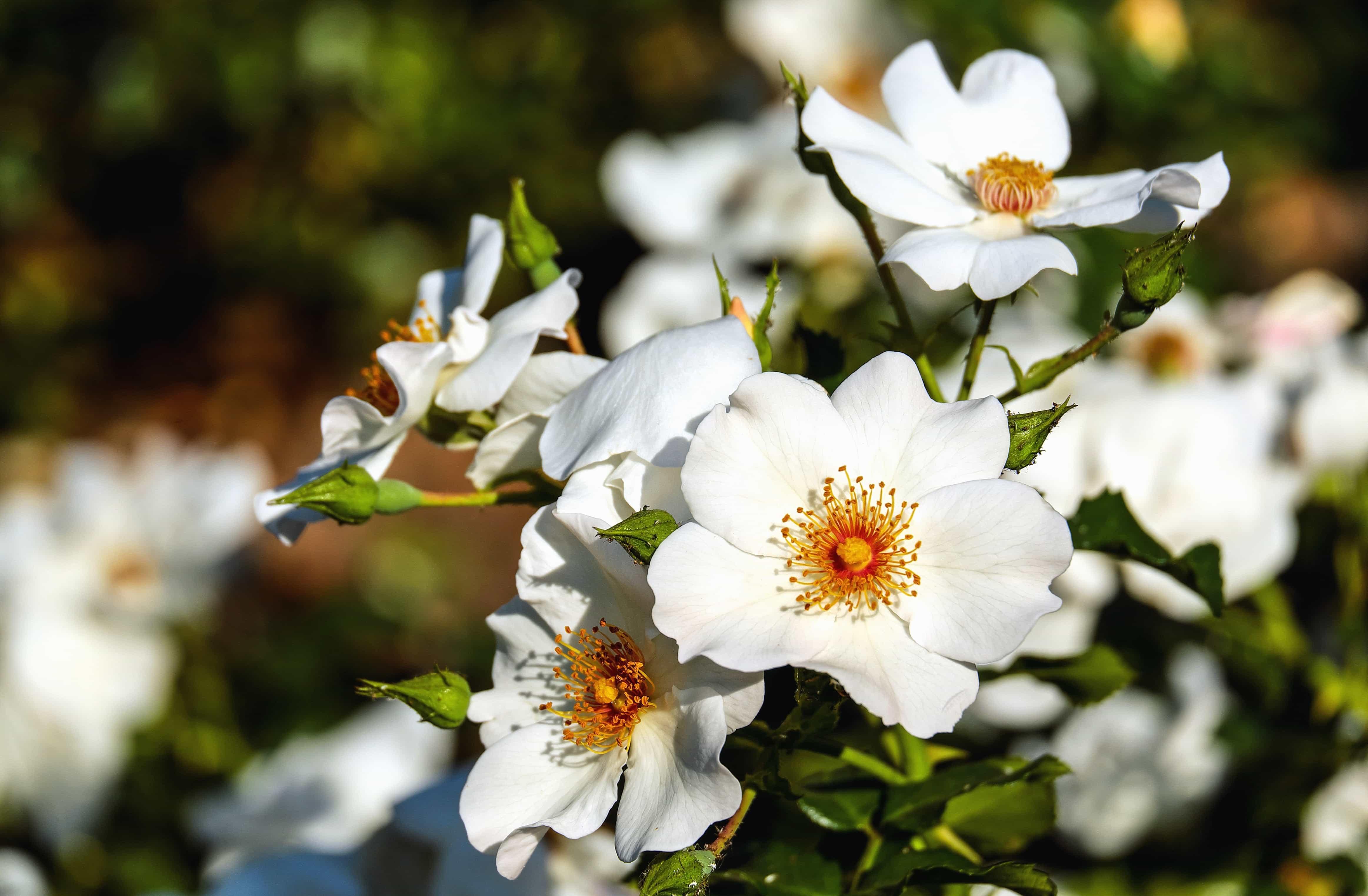 Free Picture Wild Rose Leaf Flower Garden Nature