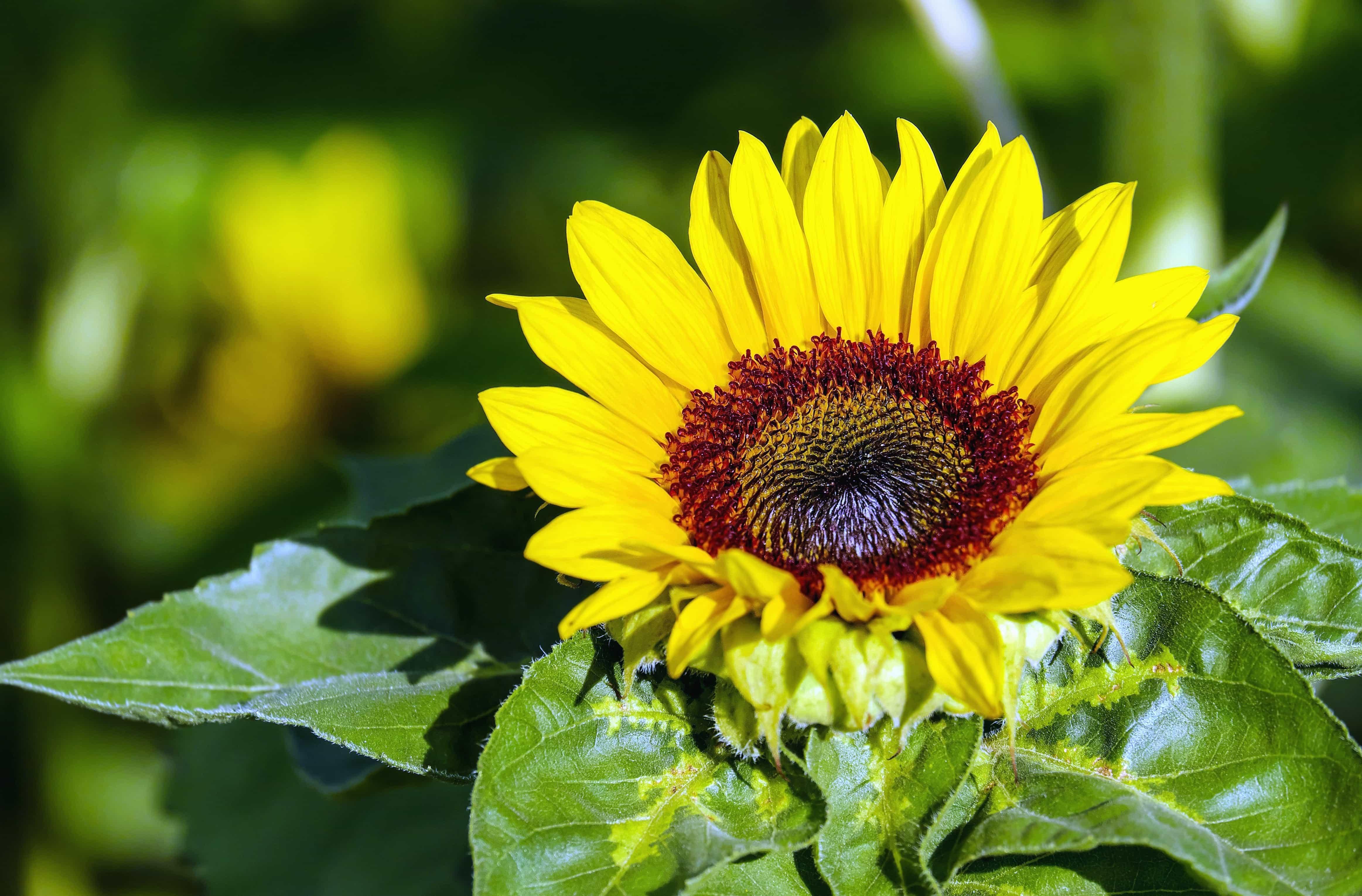 Kostenlose Bild Sommer Natur Blume Blatt Flora Garten Sonnenblume Pflanze