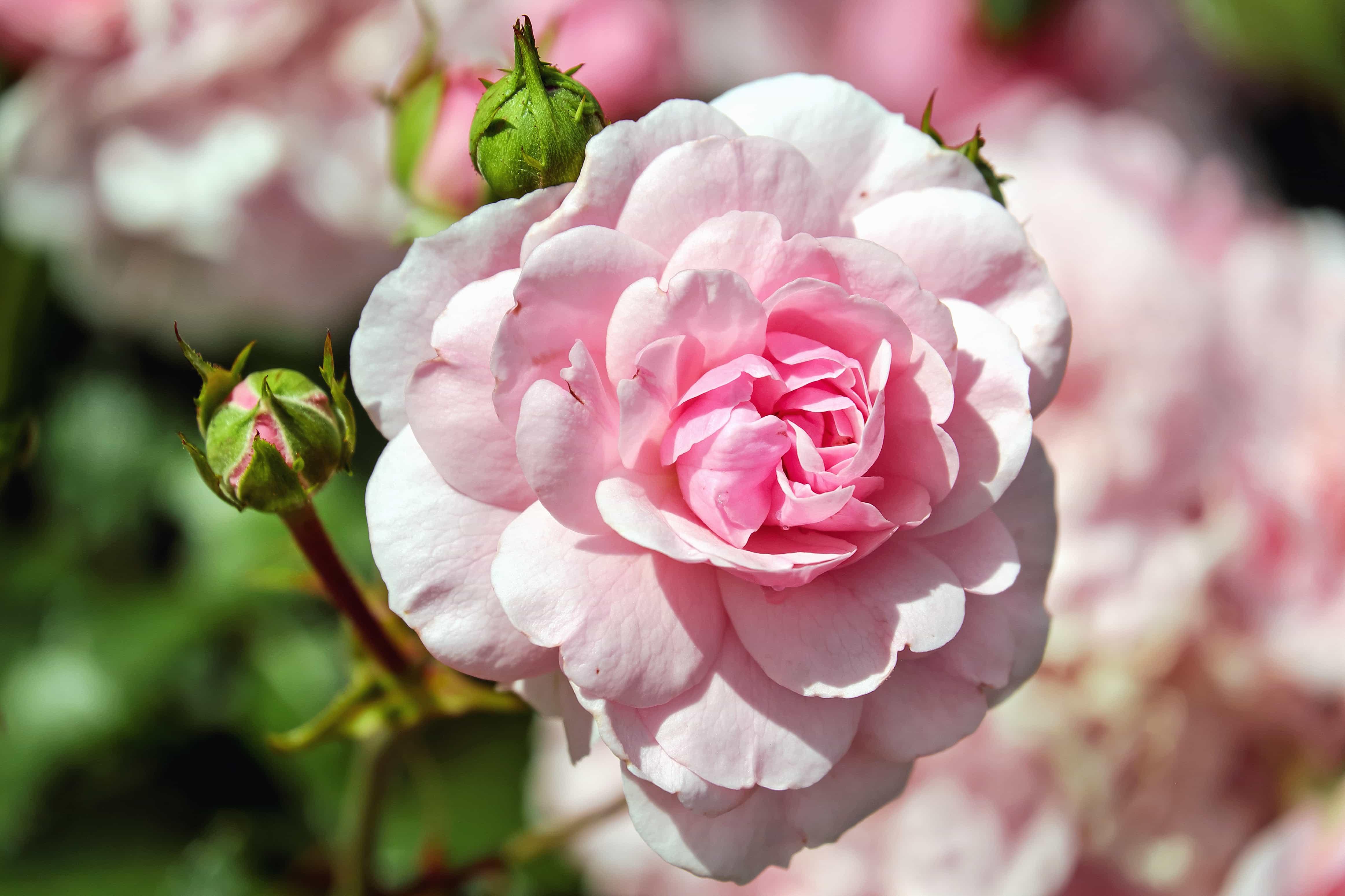 Iphone Landscape Wallpaper Hd Free Picture Rose Garden Leaf Nature Flower Petal