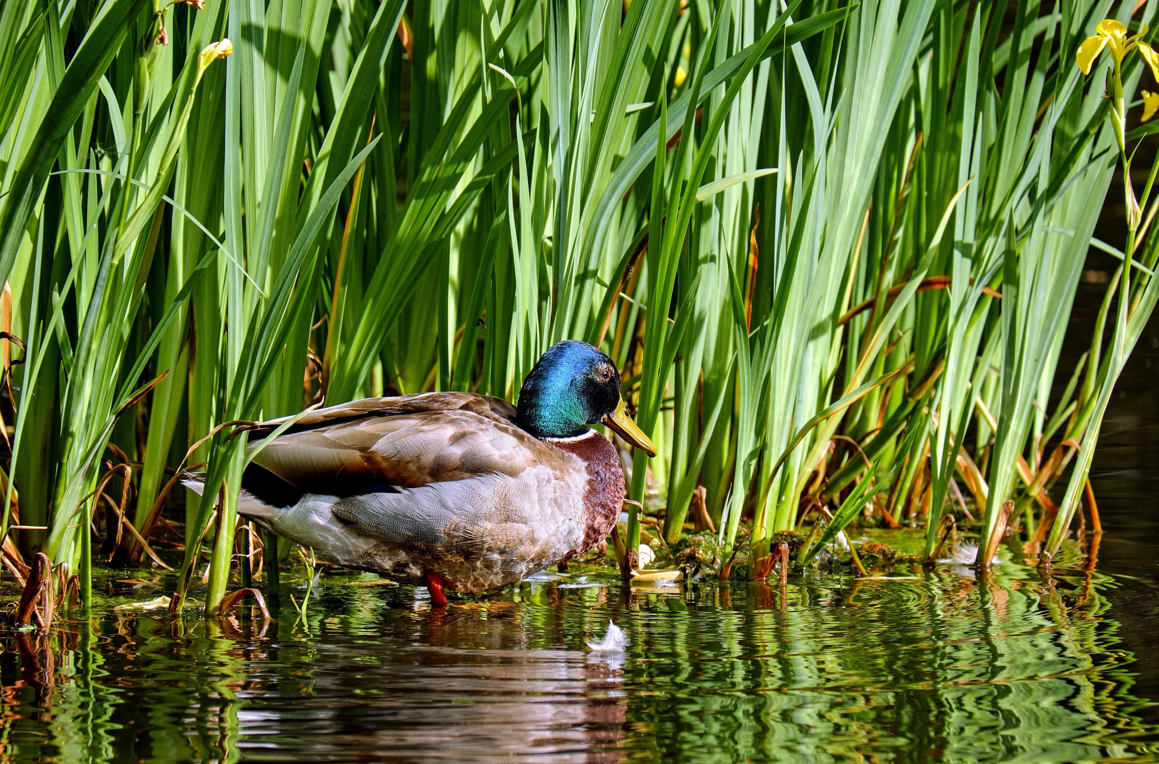Pond Wallpaper Hd Free Picture Bird Nature Mallard Grass Duck Lake
