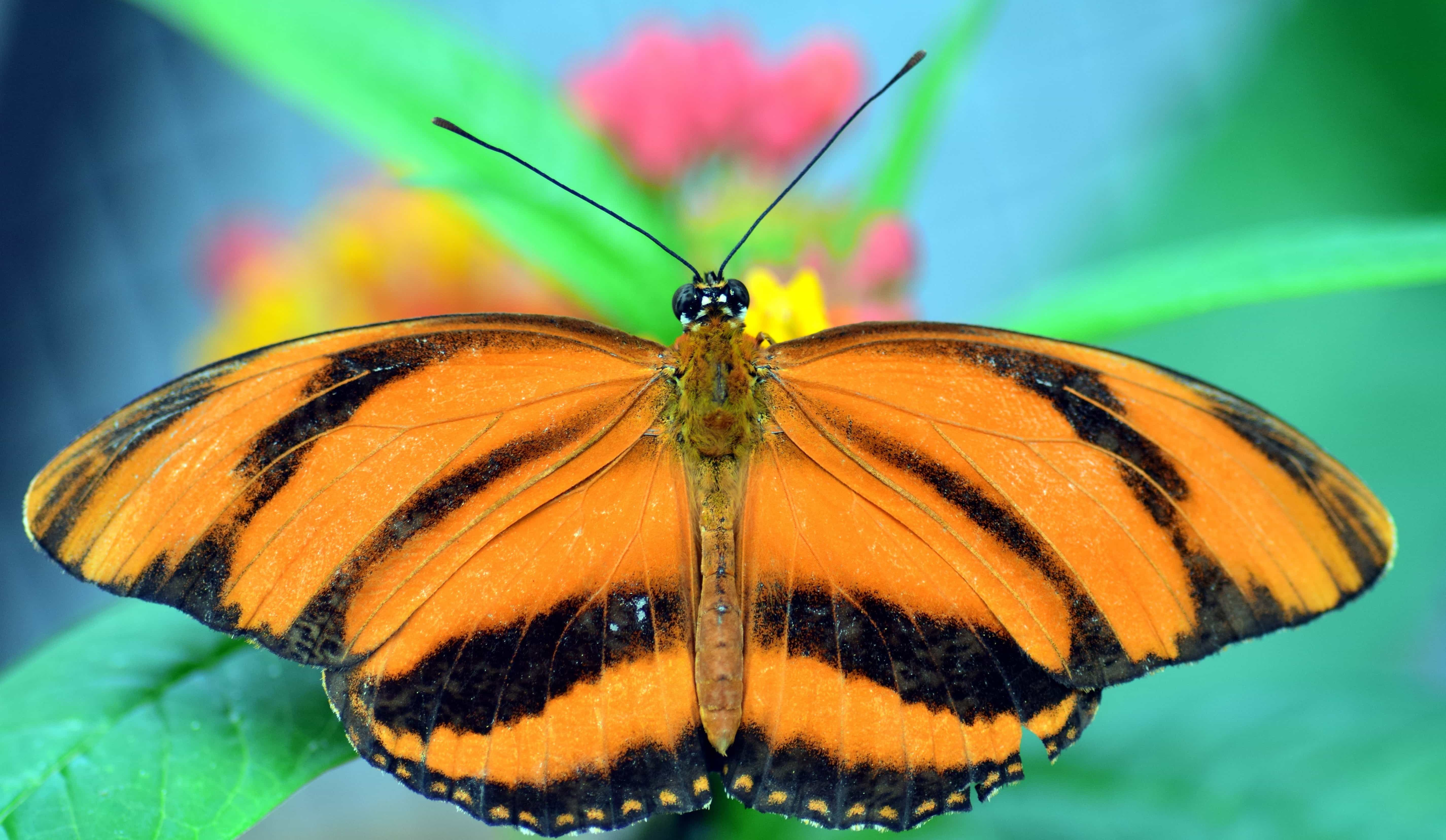 Black Animal Wallpaper Free Picture Wildlife Butterfly Colorful Brown Macro
