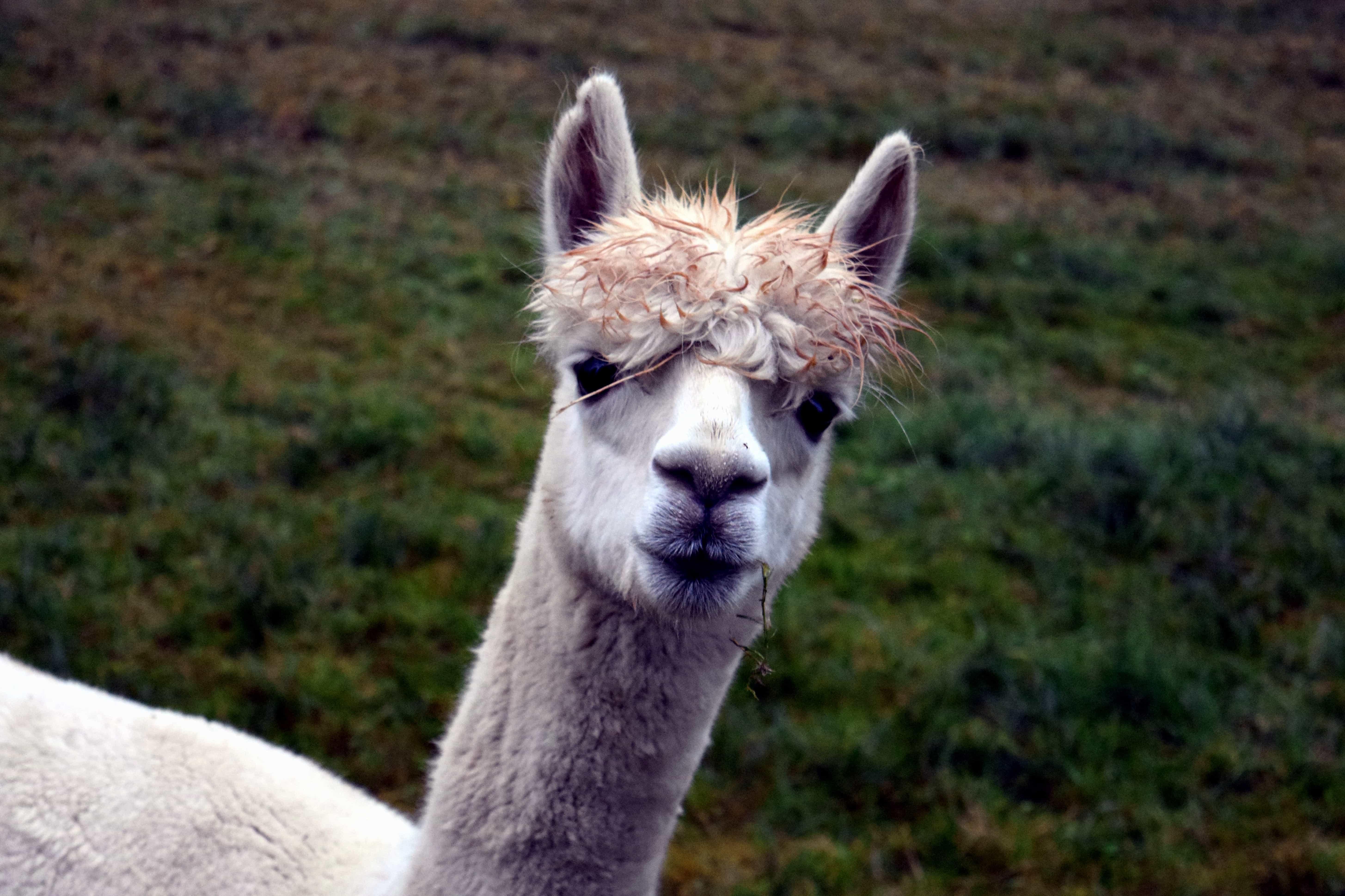 Animal Face Wallpaper Image Libre Mignon Lama Herbe De Fourrure Vert Animaux